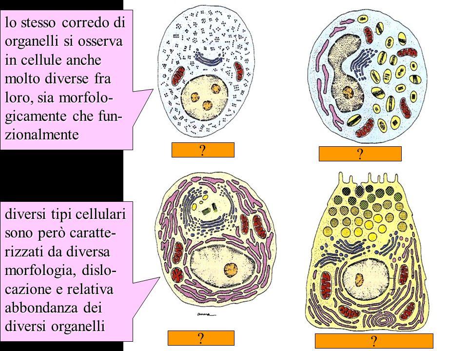 somiglianze e differenze fra tipi cellulari nel corredo di organelli