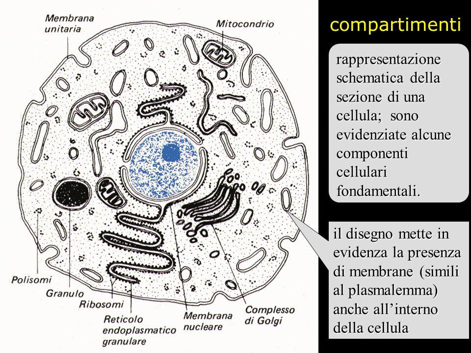 compartimentirappresentazione schematica della sezione di una cellula; sono evidenziate alcune componenti cellulari fondamentali.