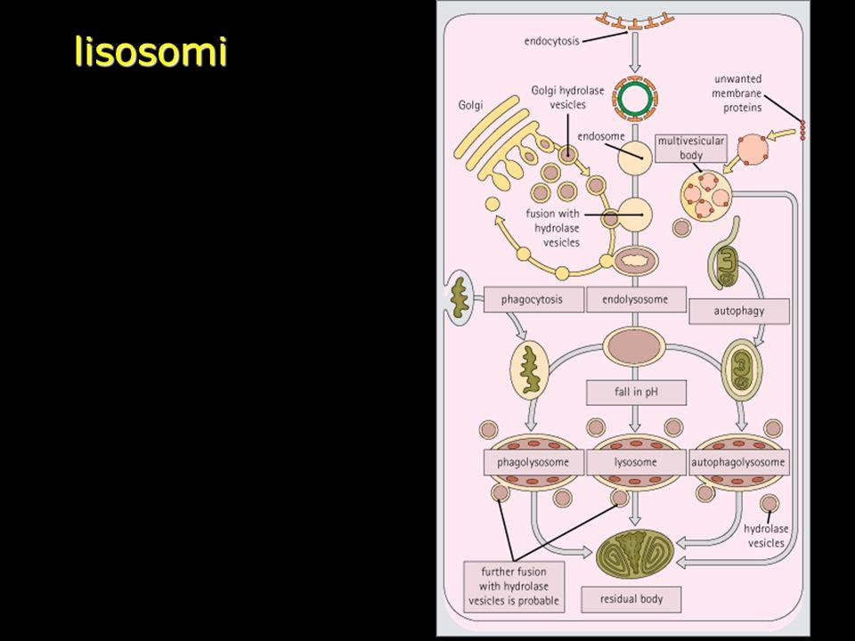 lisosomi