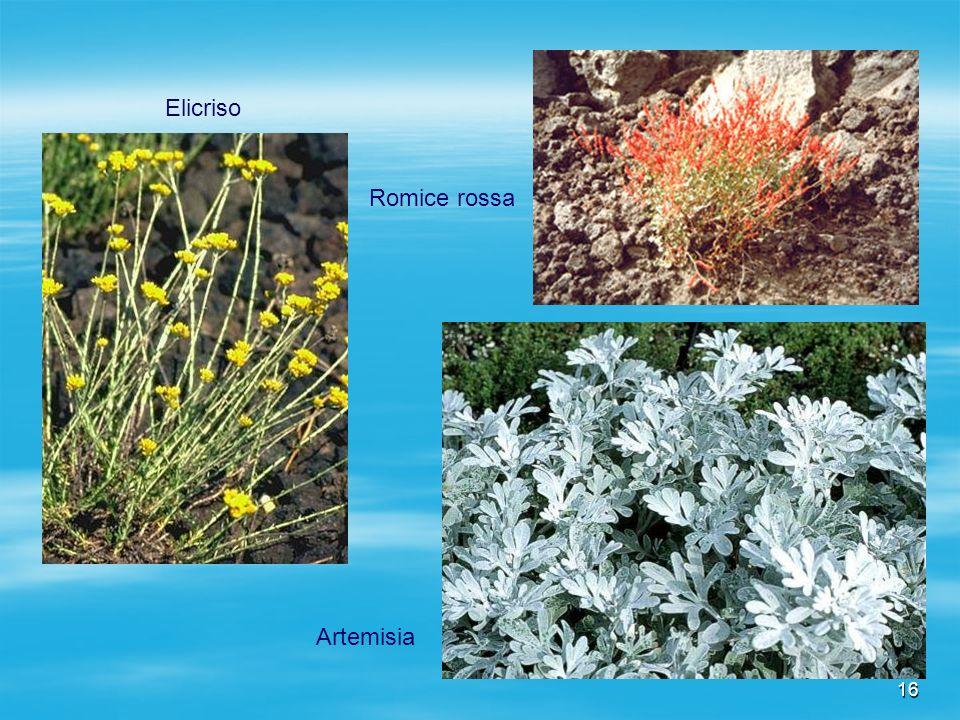 Elicriso Romice rossa Artemisia