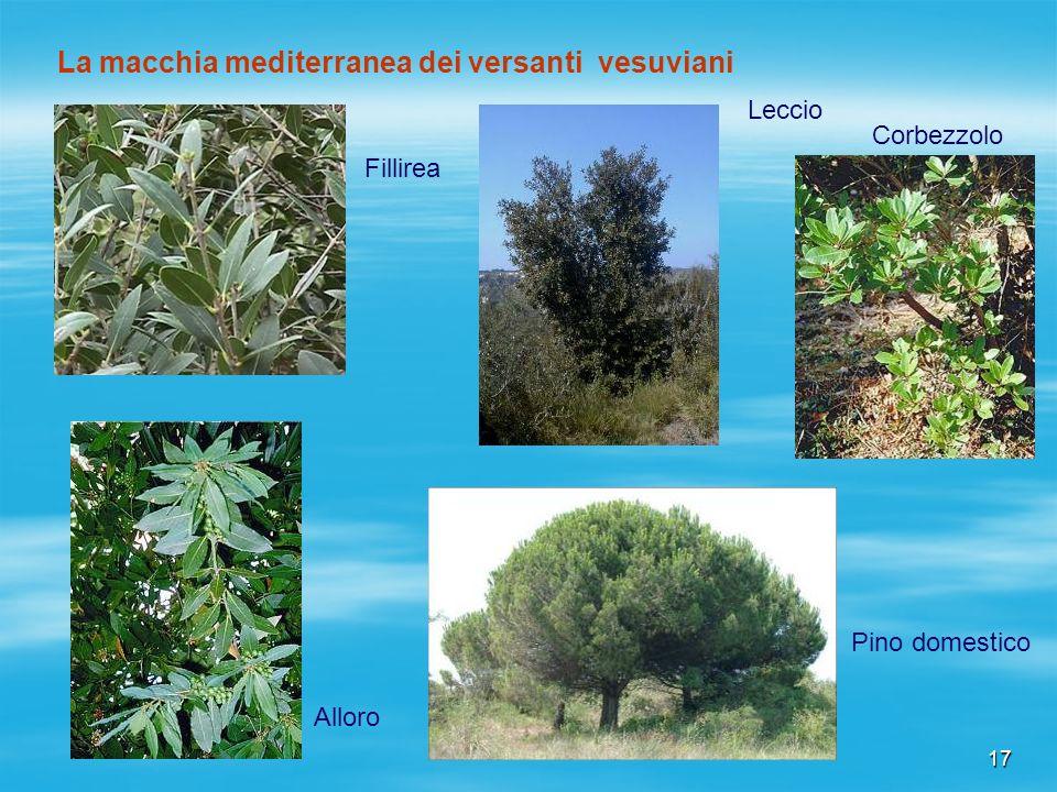 La macchia mediterranea dei versanti vesuviani
