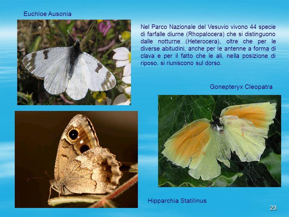 Hipparchia Statilinus