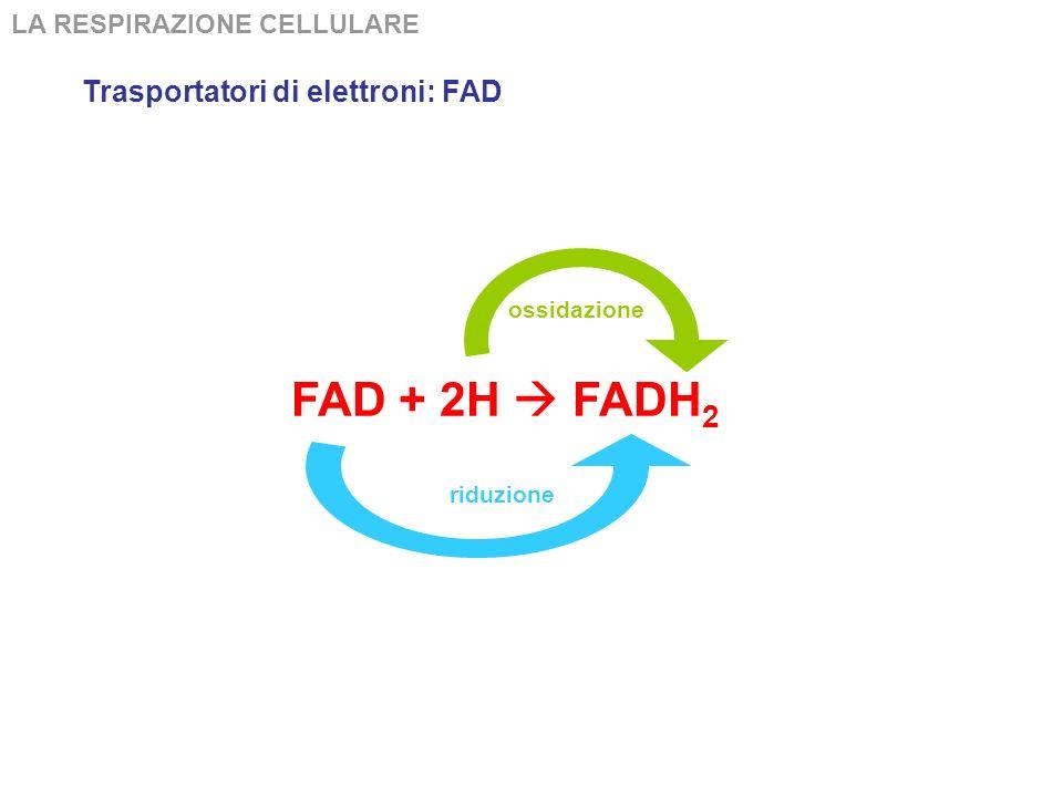 FAD + 2H  FADH2 Trasportatori di elettroni: FAD
