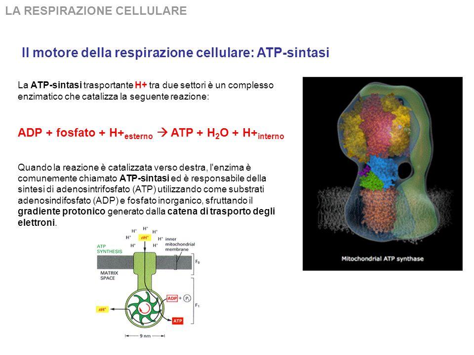 Il motore della respirazione cellulare: ATP-sintasi