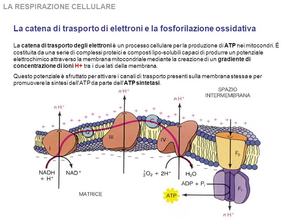 La catena di trasporto di elettroni e la fosforilazione ossidativa