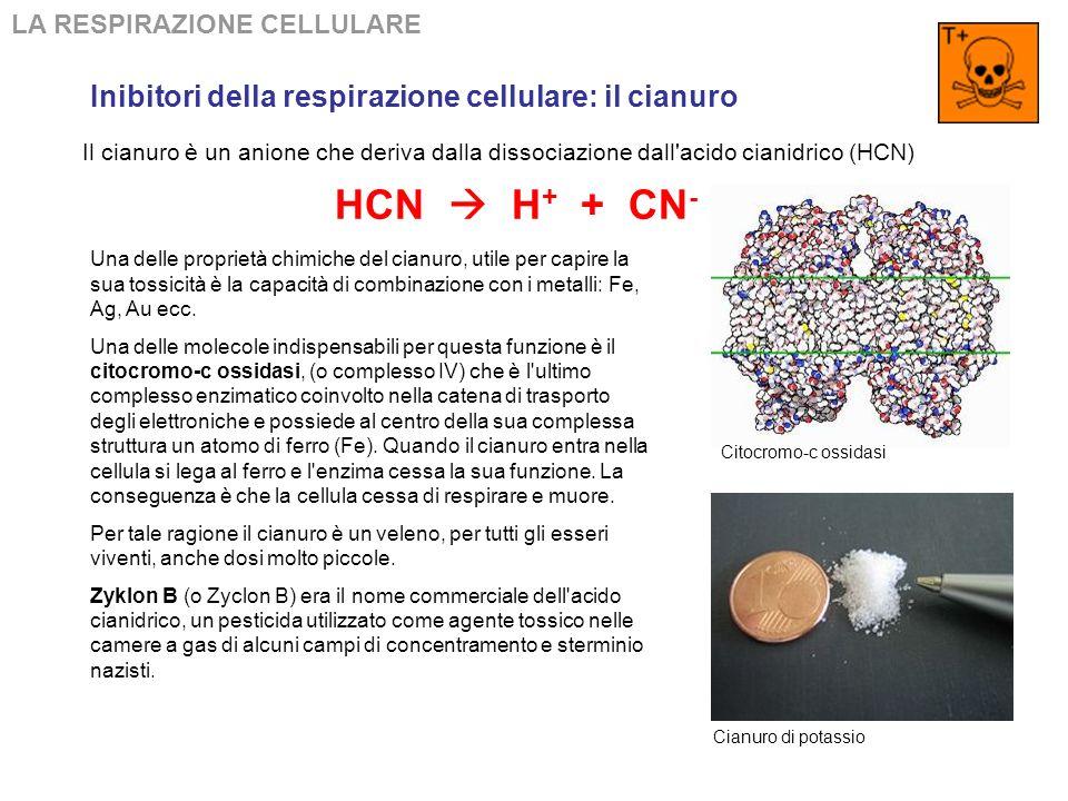 HCN  H+ + CN- Inibitori della respirazione cellulare: il cianuro