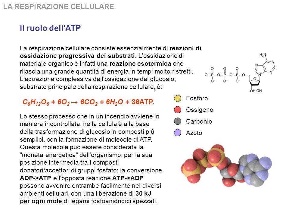 Il ruolo dell ATP LA RESPIRAZIONE CELLULARE