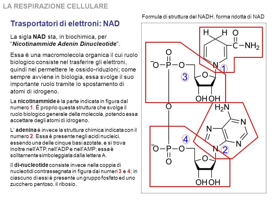 Trasportatori di elettroni: NAD