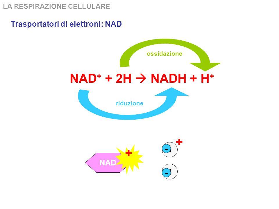 NAD+ + 2H  NADH + H+ + + - - Trasportatori di elettroni: NAD NAD