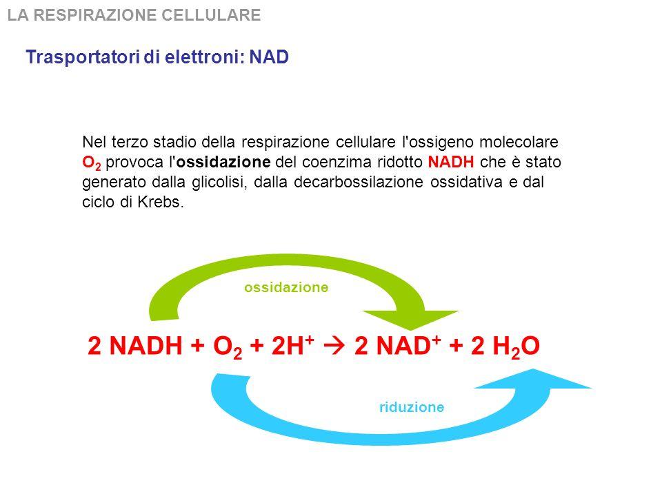 2 NADH + O2 + 2H+  2 NAD+ + 2 H2O Trasportatori di elettroni: NAD