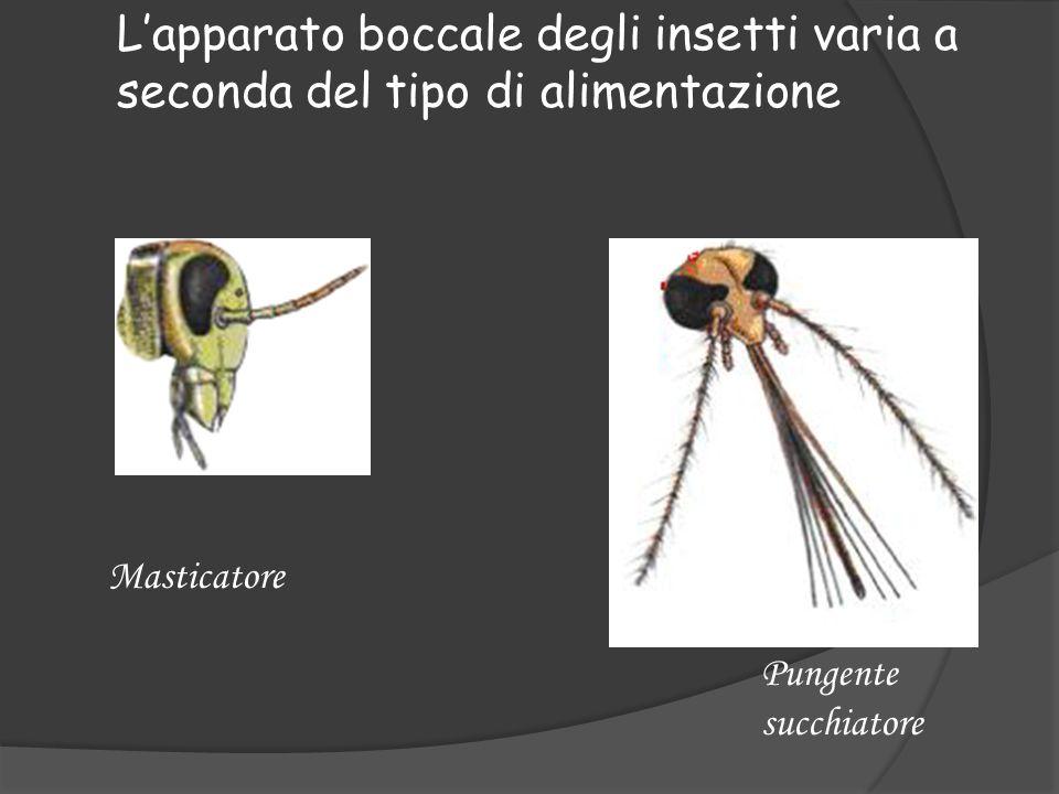 L'apparato boccale degli insetti varia a seconda del tipo di alimentazione