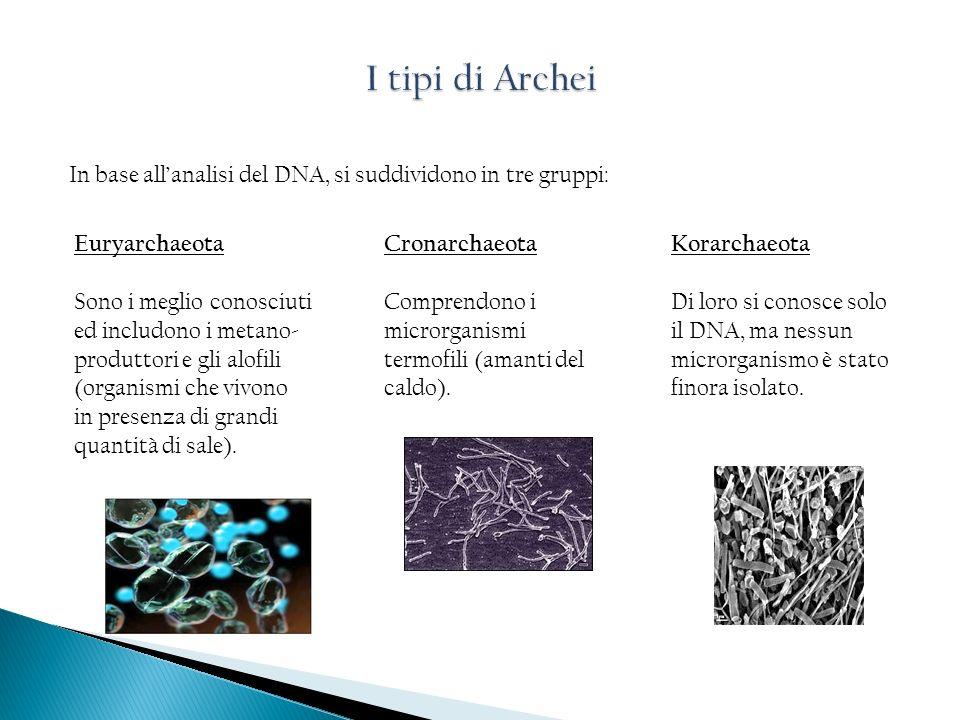 I tipi di Archei In base all'analisi del DNA, si suddividono in tre gruppi: Euryarchaeota.