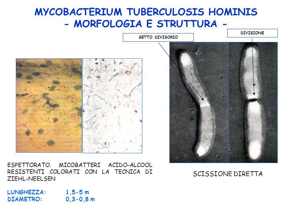 MYCOBACTERIUM TUBERCULOSIS HOMINIS - MORFOLOGIA E STRUTTURA -