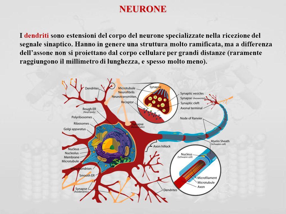 NEURONE I dendriti sono estensioni del corpo del neurone specializzate nella ricezione del.