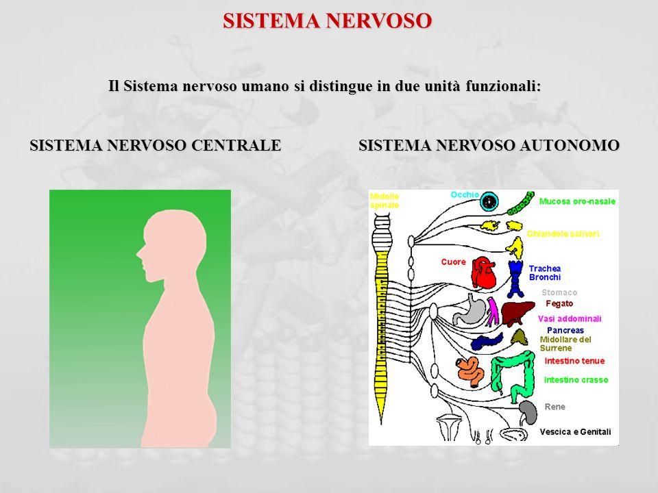 SISTEMA NERVOSO Il Sistema nervoso umano si distingue in due unità funzionali: SISTEMA NERVOSO CENTRALE SISTEMA NERVOSO AUTONOMO.