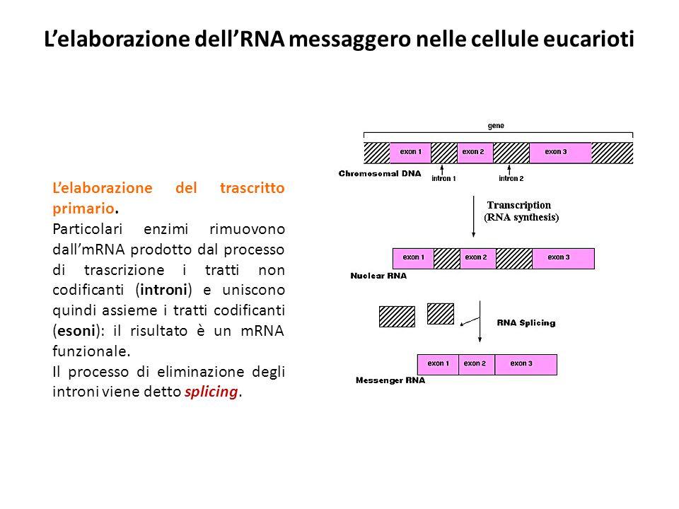L'elaborazione dell'RNA messaggero nelle cellule eucarioti