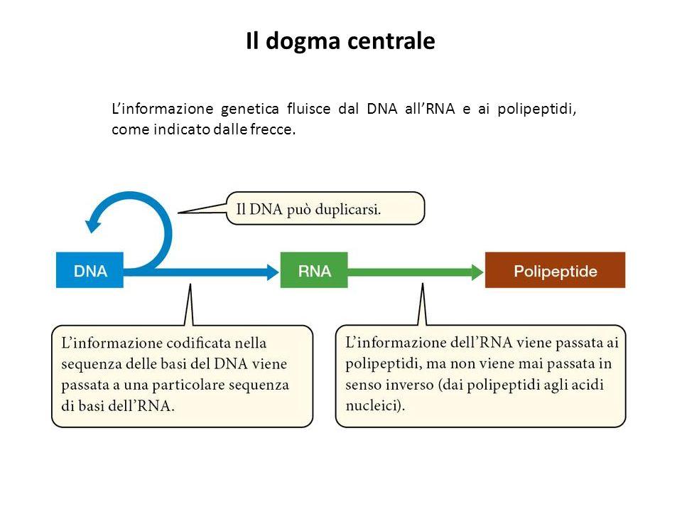 Il dogma centrale L'informazione genetica fluisce dal DNA all'RNA e ai polipeptidi, come indicato dalle frecce.