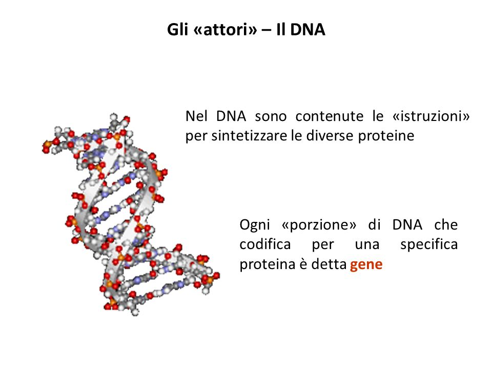 Gli «attori» – Il DNA Nel DNA sono contenute le «istruzioni» per sintetizzare le diverse proteine.
