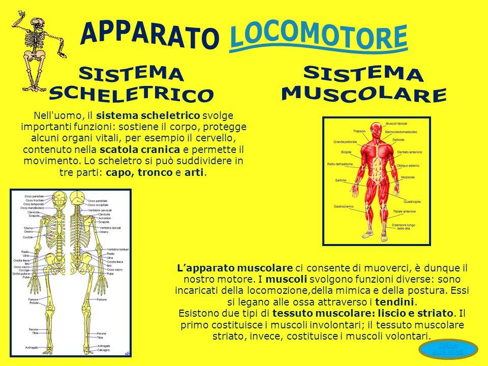 APPARATO LOCOMOTORE SISTEMA SCHELETRICO SISTEMA MUSCOLARE