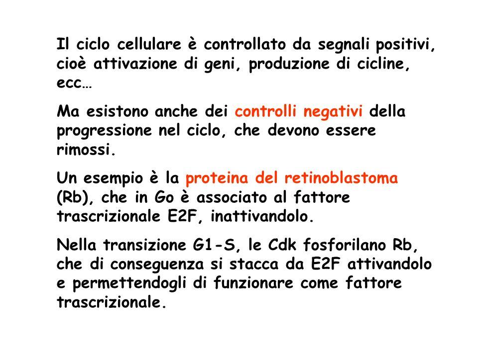 Il ciclo cellulare è controllato da segnali positivi, cioè attivazione di geni, produzione di cicline, ecc…