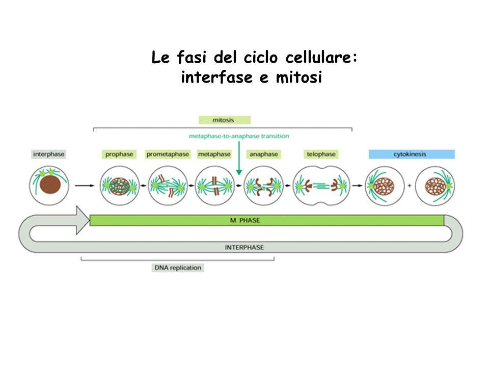 Le fasi del ciclo cellulare: