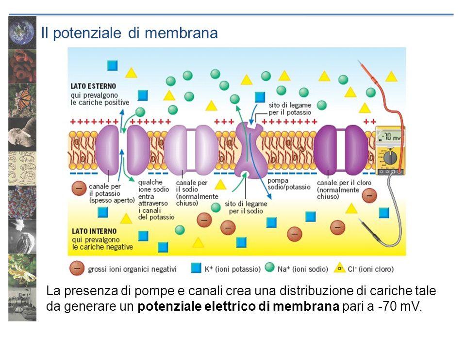 Il potenziale di membrana