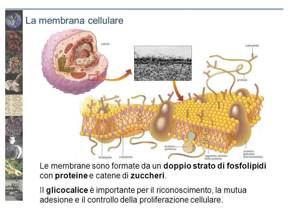 La membrana cellulare Le membrane sono formate da un doppio strato di fosfolipidi con proteine e catene di zuccheri.