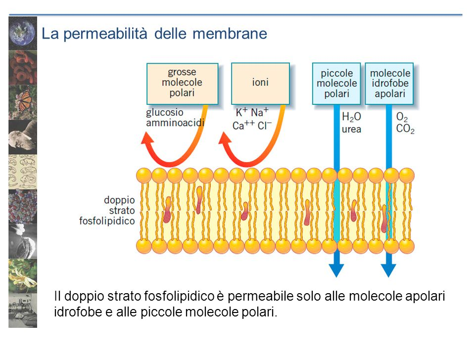La permeabilità delle membrane