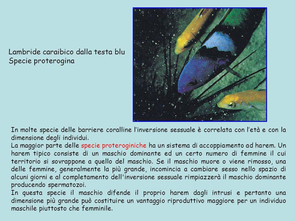 Lambride caraibico dalla testa blu Specie proterogina