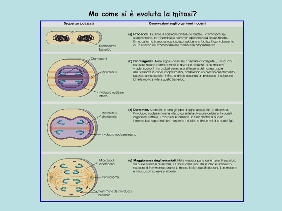 Ma come si è evoluta la mitosi