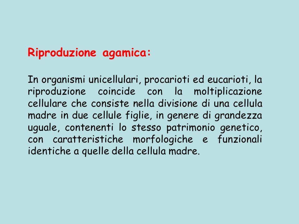 Riproduzione agamica: