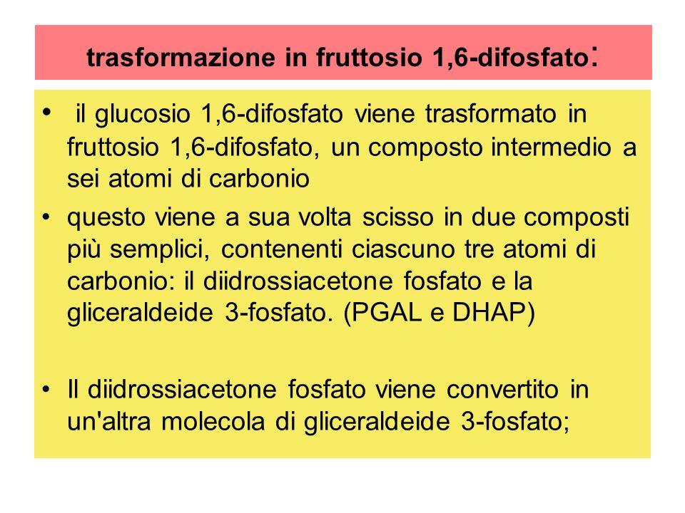 trasformazione in fruttosio 1,6-difosfato: