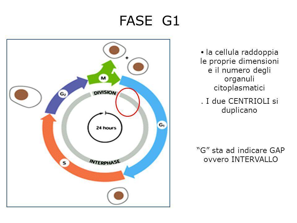 FASE G1 la cellula raddoppia le proprie dimensioni e il numero degli organuli citoplasmatici. . I due CENTRIOLI si duplicano.