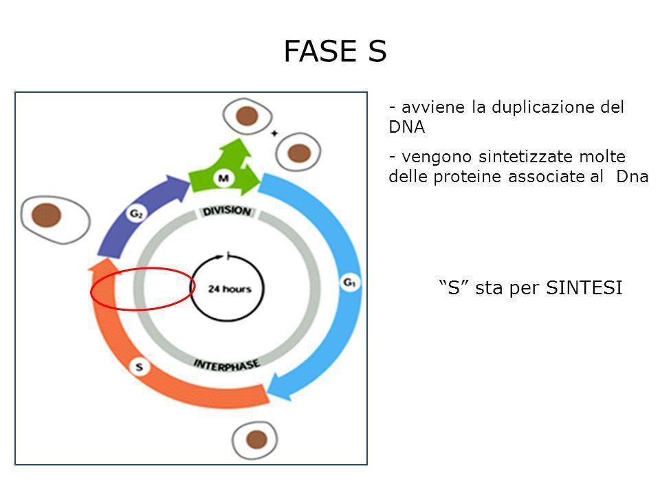 FASE S S sta per SINTESI avviene la duplicazione del DNA