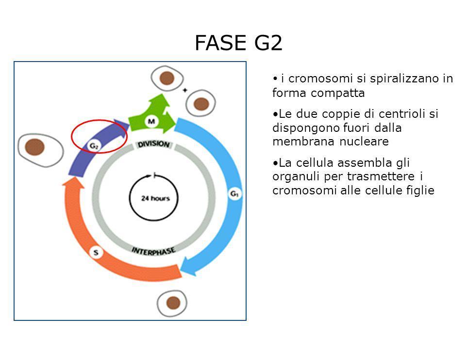 FASE G2 i cromosomi si spiralizzano in forma compatta