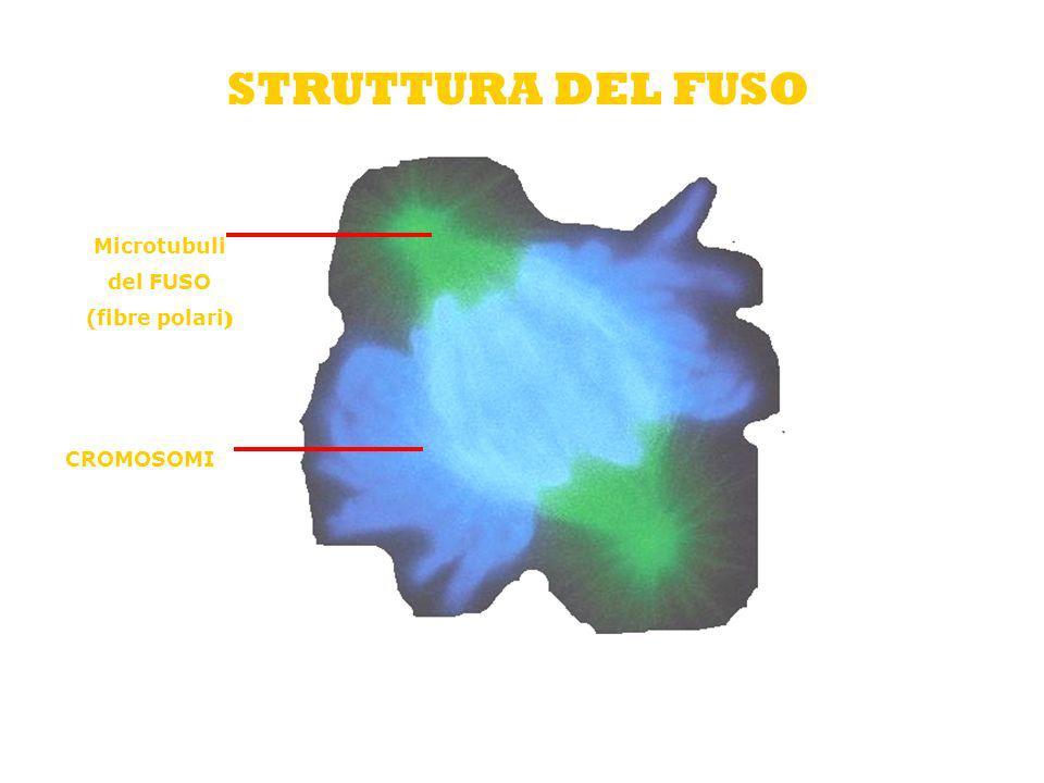 STRUTTURA DEL FUSO Microtubuli del FUSO (fibre polari) CROMOSOMI
