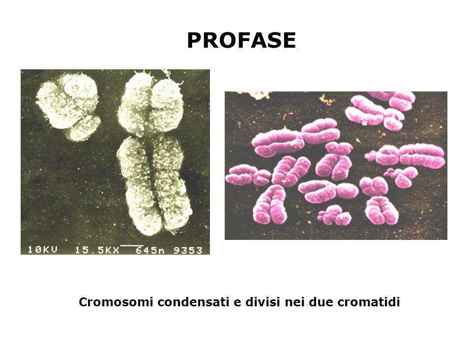 Cromosomi condensati e divisi nei due cromatidi