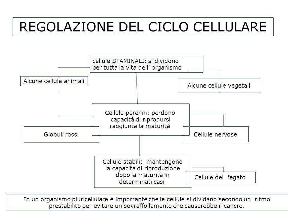 REGOLAZIONE DEL CICLO CELLULARE