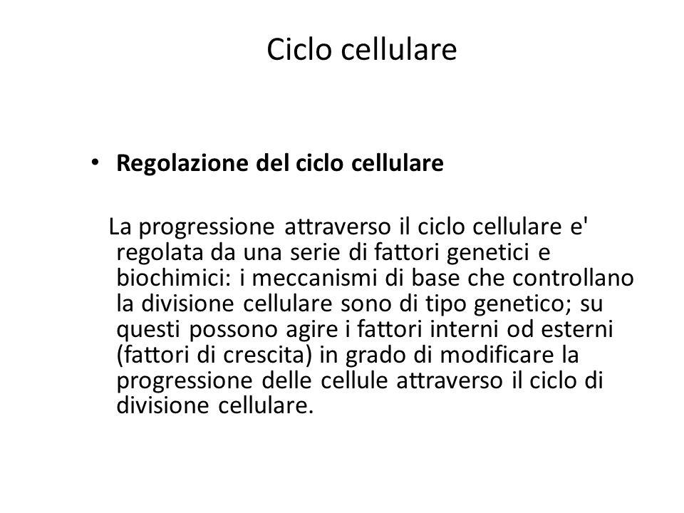Ciclo cellulare Regolazione del ciclo cellulare