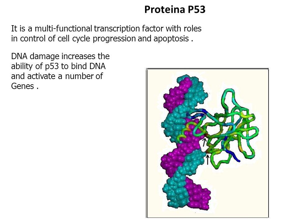 Proteina P53 It is a multi-functional transcription factor with roles