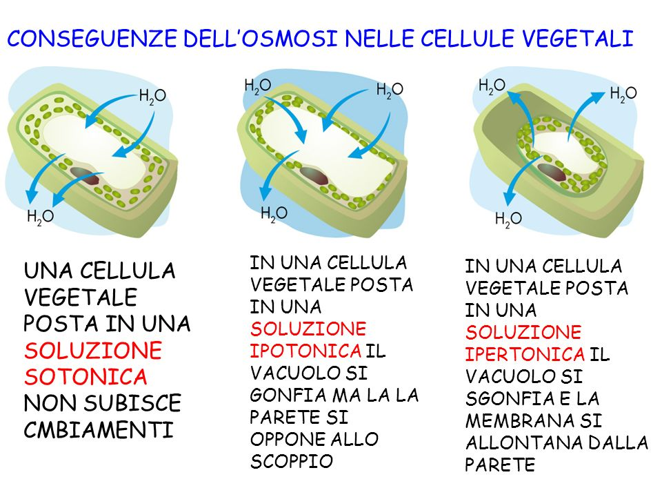CONSEGUENZE DELL'OSMOSI NELLE CELLULE VEGETALI