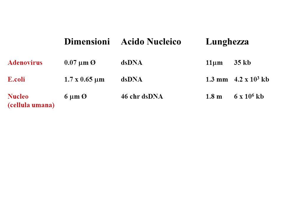 Dimensioni Acido Nucleico Lunghezza