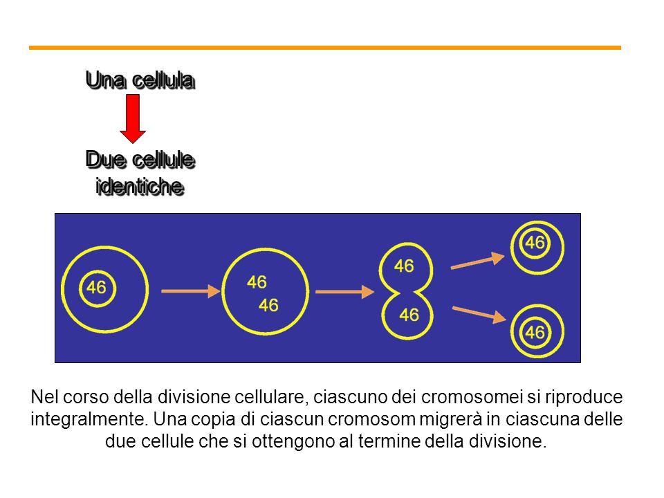 Una cellula Due cellule identiche