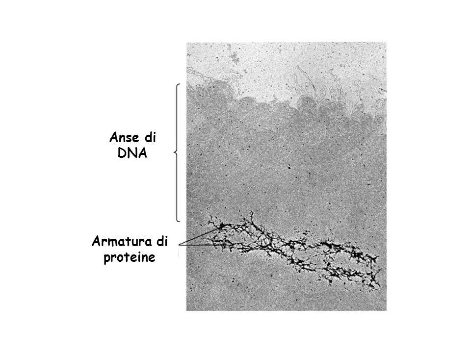 Armatura di proteine Anse di DNA