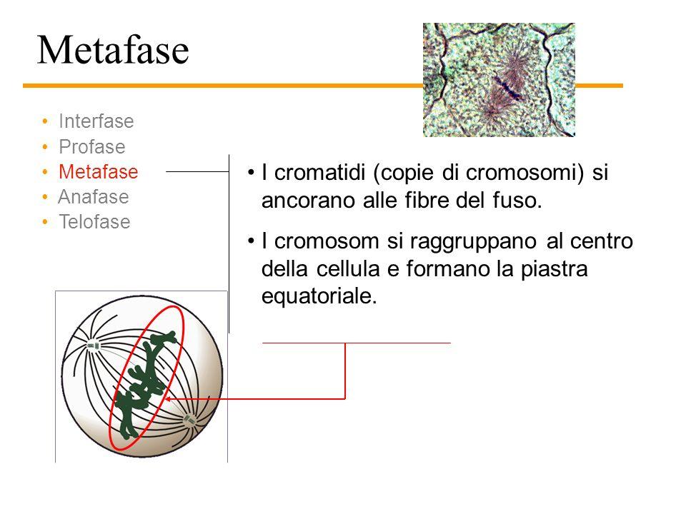 Metafase Interfase. Profase. Metafase. Anafase. Telofase. I cromatidi (copie di cromosomi) si ancorano alle fibre del fuso.