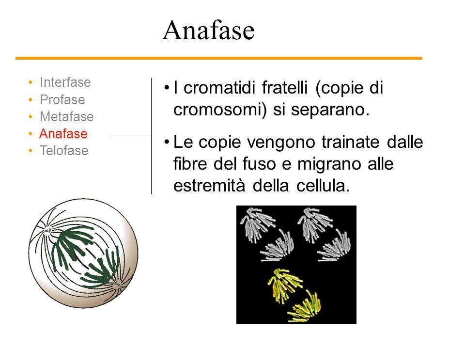 Anafase I cromatidi fratelli (copie di cromosomi) si separano.