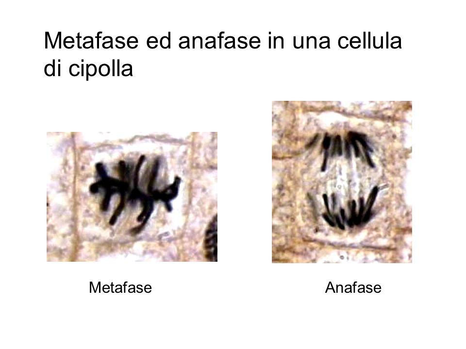 Metafase ed anafase in una cellula di cipolla
