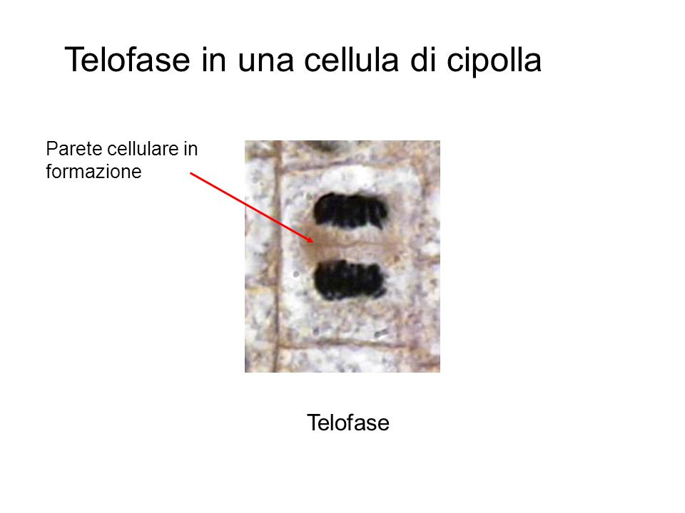 Telofase in una cellula di cipolla
