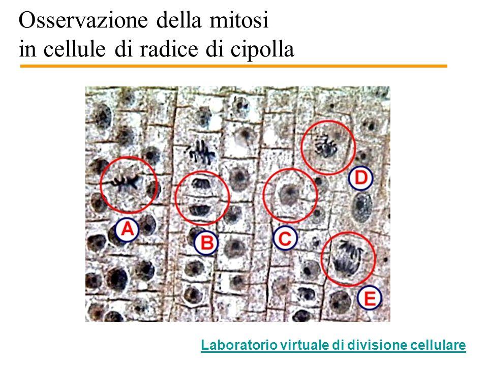 Osservazione della mitosi in cellule di radice di cipolla
