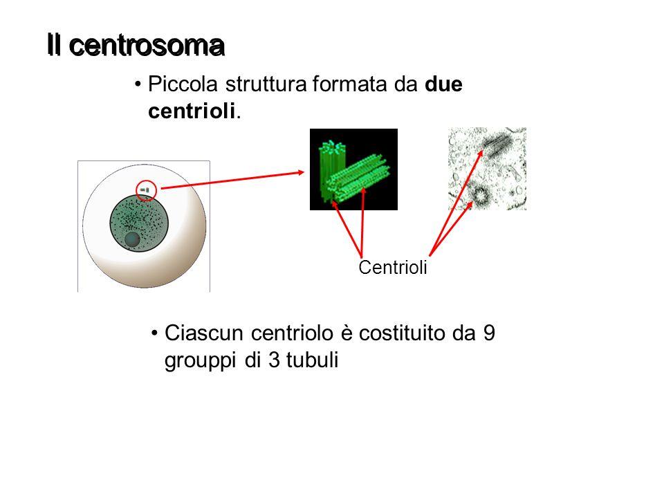 Il centrosoma Piccola struttura formata da due centrioli.
